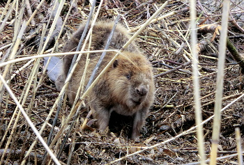An Emsland beaver at the river Hase (Photo: M. Homuth)