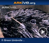 ARKive-video - Eurasian beaver is felling trees for building dams and lodges.